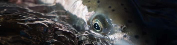 eye of the steelhead